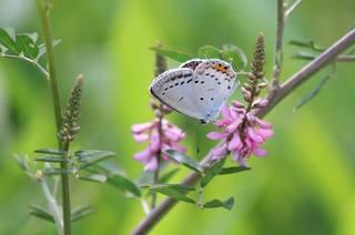 夏の蝶.jpg