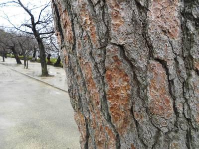 松の古木.jpg