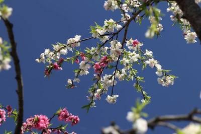 桜かな.jpg