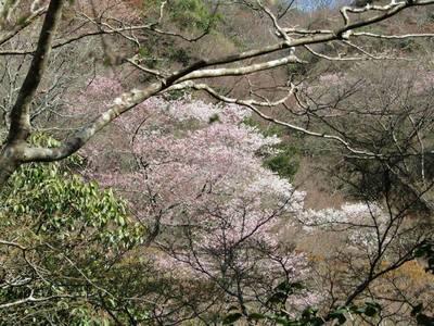 桜奏でる.jpg