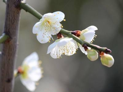 梅の香.jpg
