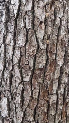楠の木.jpg