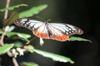 渡り蝶.jpg