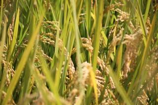 稲の波.jpg
