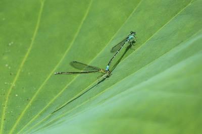 糸蜻蛉.jpg