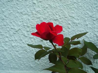紅薔薇.jpg