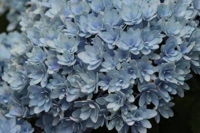 紫陽花の.jpg