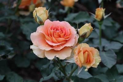 薔薇ゆえに.jpg
