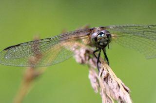 蜻蛉.jpg