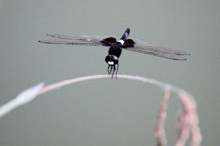 蜻蛉 (2).jpg