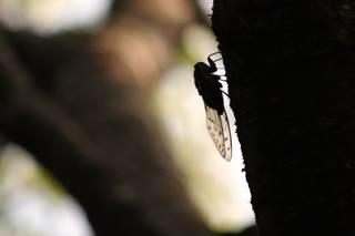 蝉 (2).jpg