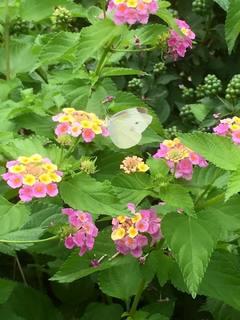 蝶の昼.jpg