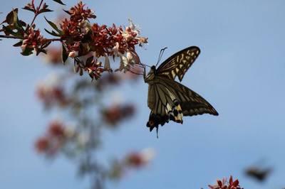 蝶の羽音.jpg