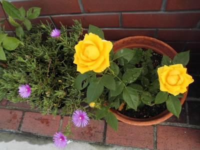 黄色い薔薇.jpg